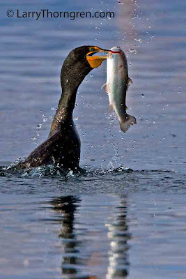 Black Cormorant swims carrying trout