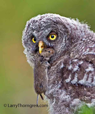 Larry Thorngren - Young Great Gray Owl eating vole