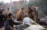 Camellos en Kashi