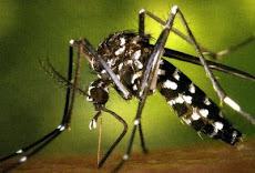 Por primera vez en Venezuela, la presencia del Aedes albopictus