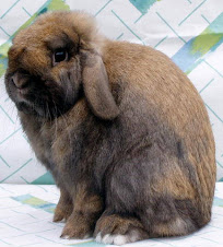 Show Quality Holland Lop