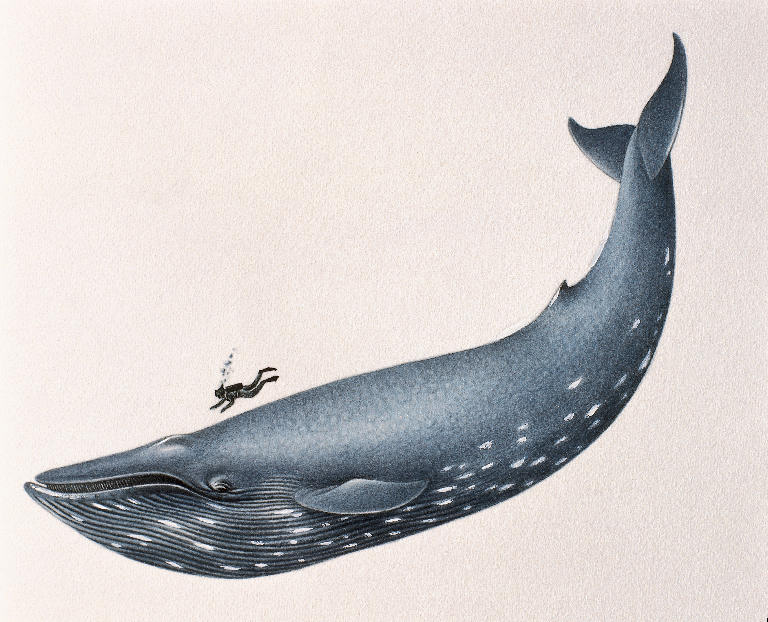 blue whale size. Whale 1 is