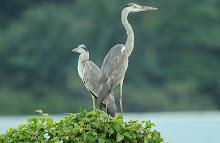 Grey Heron_2011