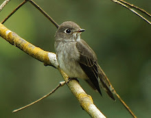 Dark-sided flycatcher_2011