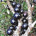Jual Bibit Jaboticaba/anggur brazil