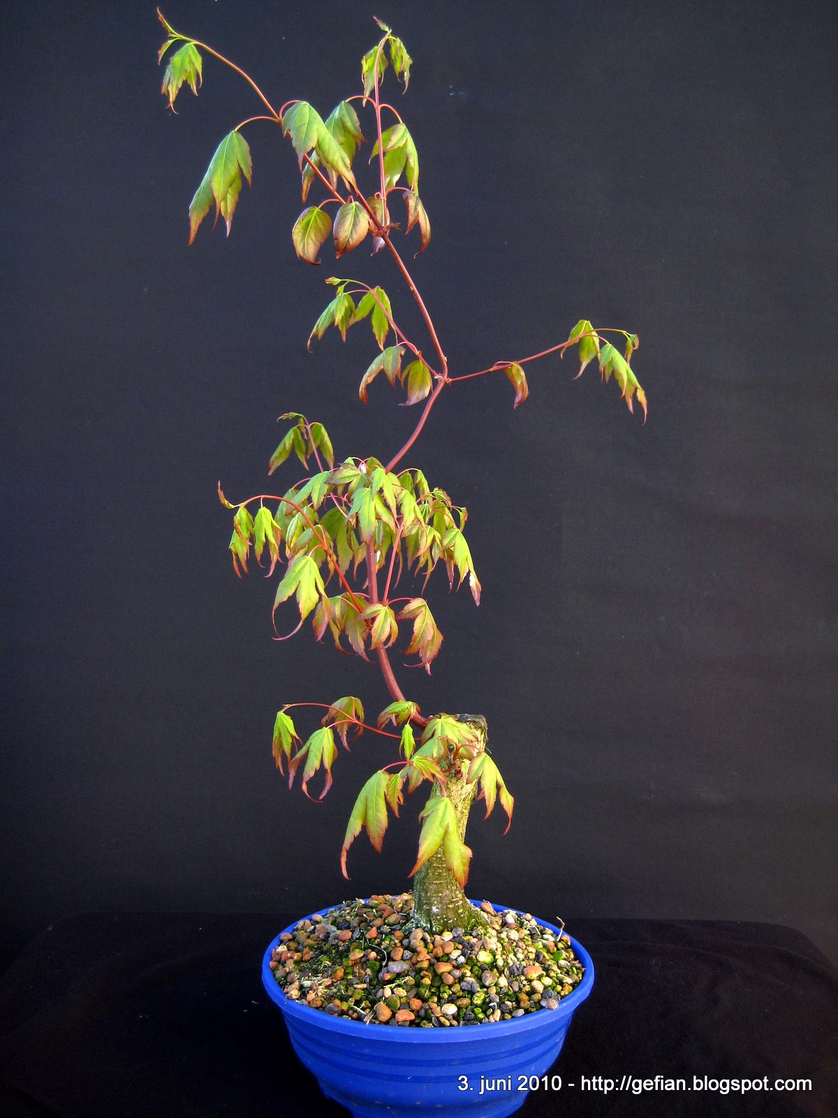 My Bonsai Japanese Maple