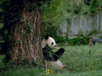 Russian mafia babe don 39 t despair panda bear for Washington fish and wildlife