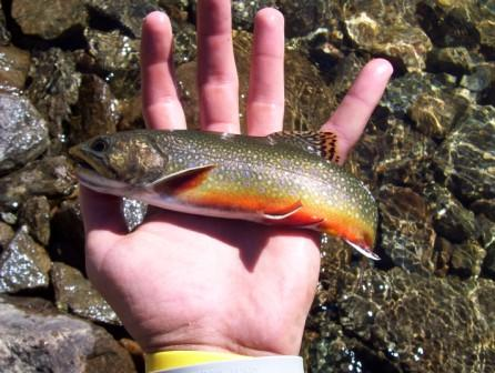 The slippery rock kid fishing for native brook trout for Bishop ca fishing report