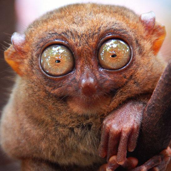 tarsier_nocturnal_animals.jpg