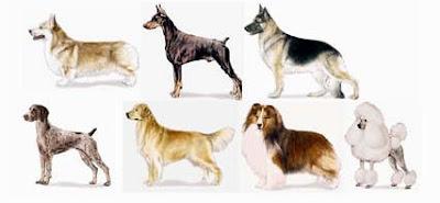 Raza perros von willebrand