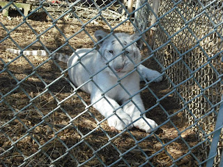 white tiger Malia