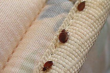 [bedbugs01.jpg]
