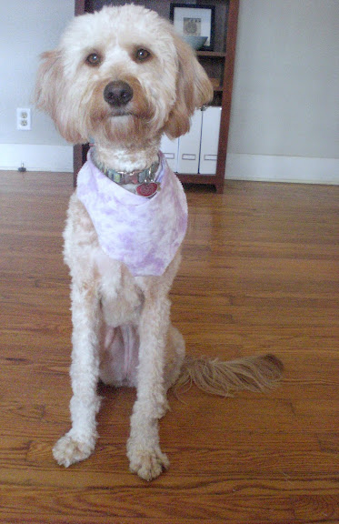 Goldendoodle Haircut Photos http://thebrickcottage.blogspot.com/2010/02/no-longer-teddy-bear.html