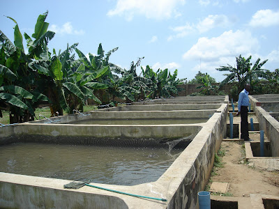 Catfish farming in nigeria pictures of concrete earthen for Concrete fish pond construction and design