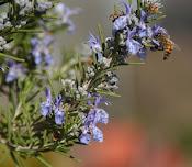Bee on my rosemary