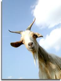 Goats do not have teeth in their upper front jaw.