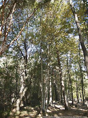 Perdido en el amazonas betula pubscens abedul abedul blanco asilo blanco bieso bierzo bedul - Abedul blanco ...