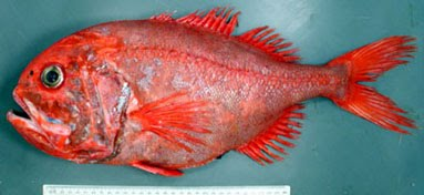 Brian Walters In Melbourne Orange Roughy
