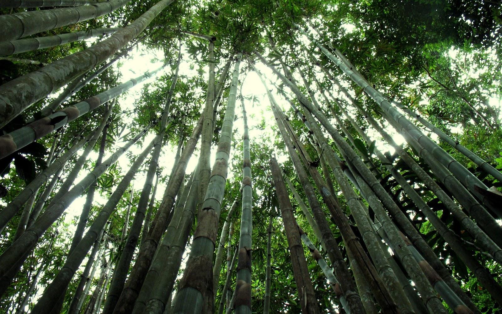 http://4.bp.blogspot.com/_Gq1jO6iuU2U/TSkV09MGs2I/AAAAAAAAHW0/2BODWg-ifyQ/s1600/bamboo+forest+amazing+hd+wallpaper.jpg