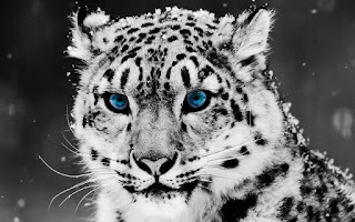 Snow White Leopard Blue Eyes Wilde Animal Apple HD Wallpaper