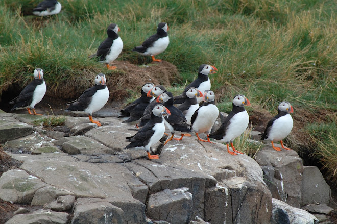 Puffins by the Dozens