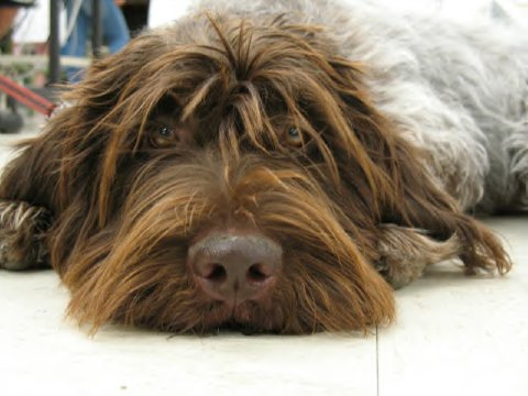 Cute Puppies Picture: Wirehaired Pointing Griffon Puppies