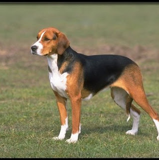 American Foxhound Dog Pic