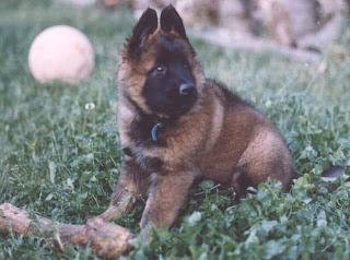 Belgian Tervuren Puppy Pic