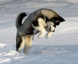 Siberian Husky Puppies on Siberian Husky Puppies