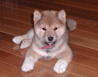 Shiba Inu Puppy Picture