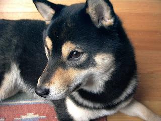 Shiba Inu Close up Pic