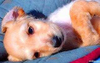 Afghan Hound Puppy