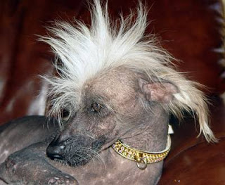 Chinese Crested Punk Dog
