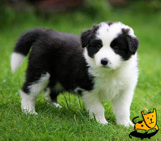 Collie Cute Puppy