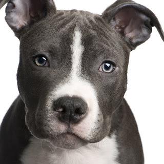 Pit Bull Terrier Dog Image