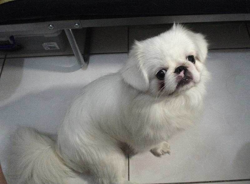 DOGS AND CATS BREED: Pekingese Puppies Picture Dogs and ...