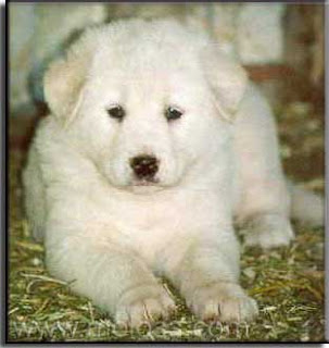Akbash Dog Puppy