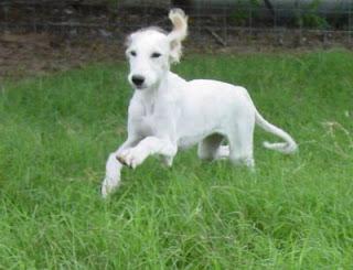 Saluki Dog Picture