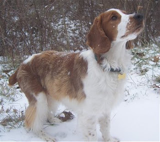 Welsh Springer Spaniel Dog Picture