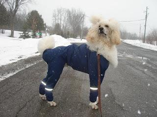 Poodle Picture