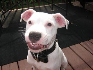 Miniature Bull Smile Image