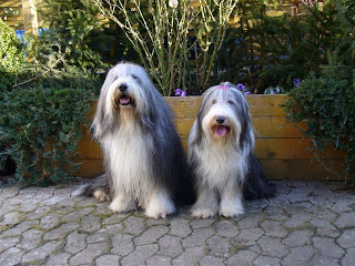 Bearded Collie Dog Picture
