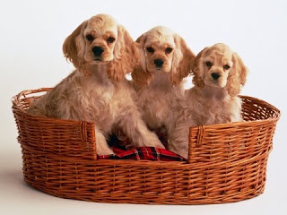 Cocker Spaniel Puppies Picture