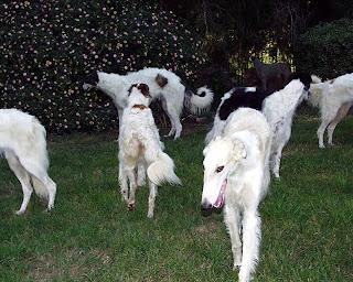 Borzoi Dog Pictures