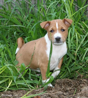 Basenji Puppies Dog