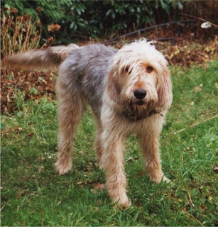 Otterhound Dog PIcture
