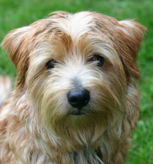 Cute Puppies Picture: Norfolk Terrier Puppies