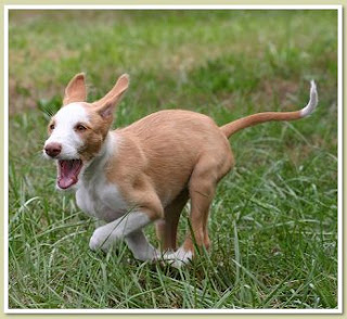 Ibizan Hound Puppy Running Picture