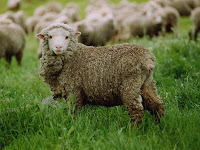 australian sheep lamb wool industry