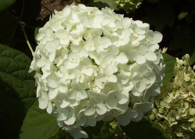 'Annabelle' Hydrangea